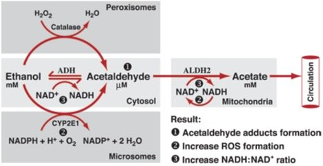 Alcohol Metabolism, Observations and Suggestions