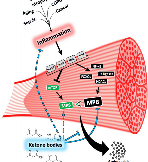 Anticatabolic effects of ketone bodies