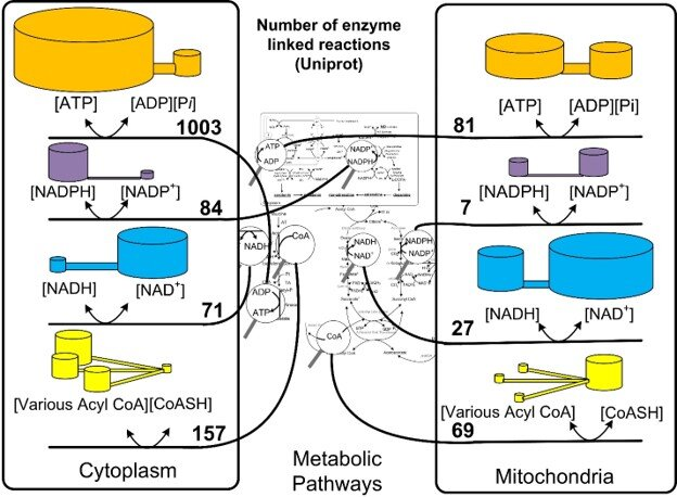 Figure 2 The great controlling nucleotides in their compartments. The magnifying glasses in the center show examples of reactions where the coenzymes are found in the metabolic pathways. The number of enzymes that share the potential energy in the same compartment are shown in the numbers. The two cylinders for each coenzyme couple are meant to show that the high energy and low energy forms have different concentrations and the ratio determines the potential energy.