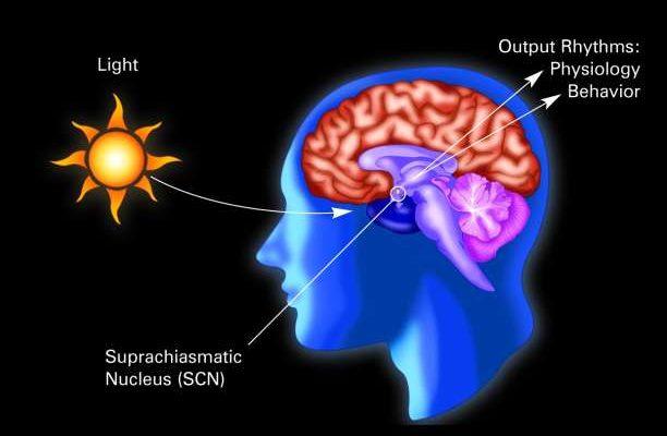 suprachiasmatic nucleus (SCN).jpg
